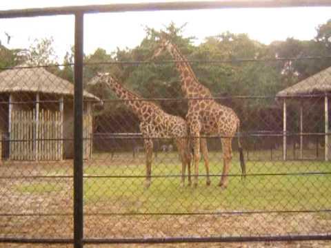 Tentativa de Acasalamento das Girafas 2