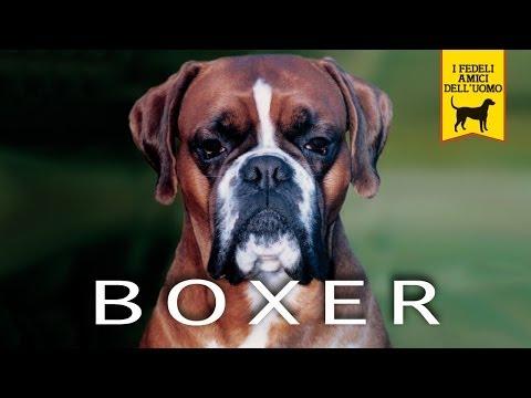 BOXER trailer documentario razza canina