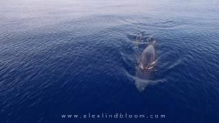 RARE FOOTAGE: Omura's Whale Feeding in Raja Ampat November 2016 1080p
