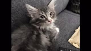 Norwegische Waldkatze wird erwachsen