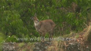 Goral intently looks up for source of noise, see its ungulate hoof as it stands on rock
