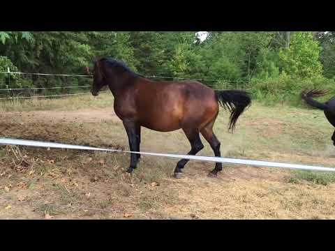 Xxx Mp4 MRM Black Magic Pasture Breeding Courting A Mare Morgan Horse 3gp Sex