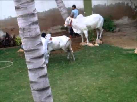 Dangerous Cow Qurbani at our resident full video .