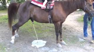 Horse pissing - Hysterical