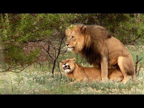 Lion mating ritual up close