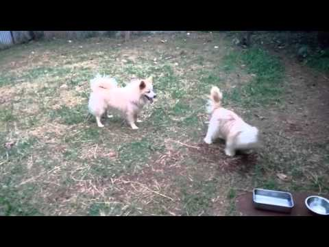 DIEGO MATING PRETTY (Jap' Spitz & Yorkshire terrie