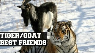 Tiger and Goat's  unlikely friendship.