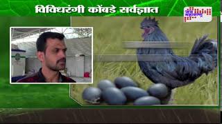 Peek perni - Black hen 'Kadaknath' in Indapur