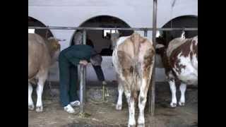 Držanje krava