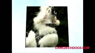 Ice Man, One Tough Poodle