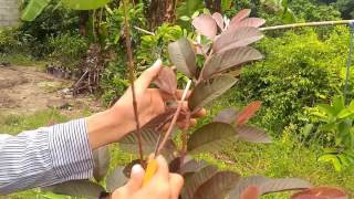 Grafting a red guava tree #grafting, #graftingguava, #redguava