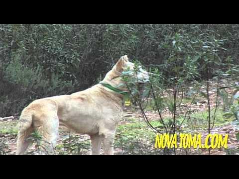 Vídeos Caza MONTERIAS EN CASTILLA parte 2 . Hunting Video
