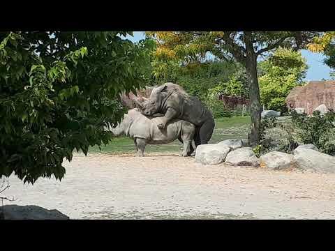 Metro Toronto zoo white rhino's get'n it on!