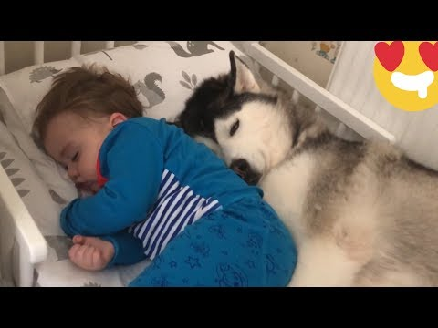 Baby Screams With Laughter Touching Huskies Ears Till He Falls Asleep TRY NOT TO SMILE