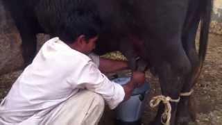Hand Milking Buffalo Dairy Farm ,Lahore,Pakistan