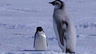 Adelie Penguin Slaps Giant Emperor Chick!