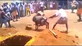 Cow killing in india