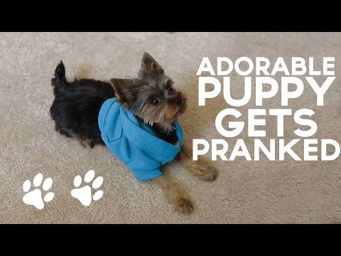 Xxx Mp4 Adorable Puppy Gets PRANKED 3gp Sex