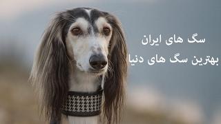 سگ های ایران بهترین سگ های دنیا