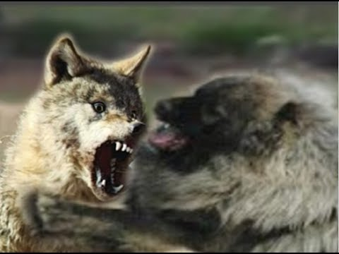 Xxx Mp4 Wolf Dog Tries In Vain To Dominate Caucasian Shepherd 3gp Sex