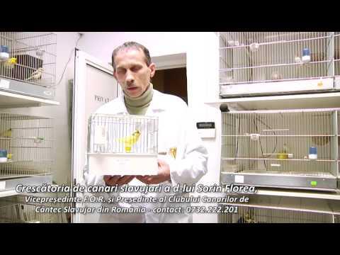 Crescatoria de canari slavujari