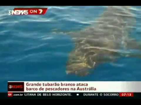 Tubarão branco ataca barco de pescadores na Austrália
