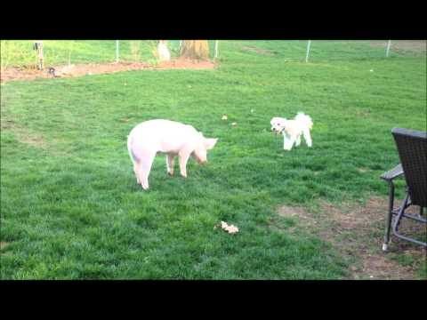Esther the Wonder Pig and Angus the Dog
