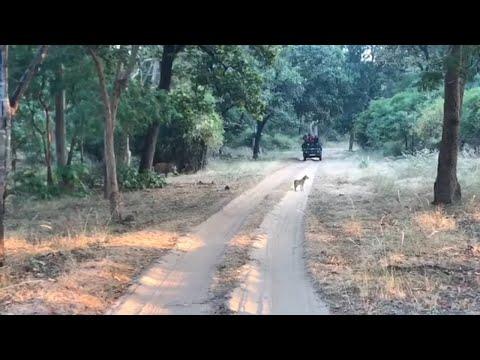 Xxx Mp4 Tiger Of Kanha Tiger Hunting Wild Dog Indian Royal Bengal Tiger 3gp Sex