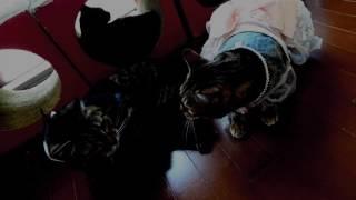 ベンガル猫ラティアスとミッキー君のなんちゃって結婚式