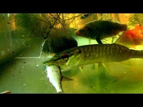 подводная рыбалка на плотву