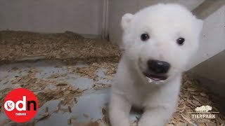 Adorable footage of polar bear cub