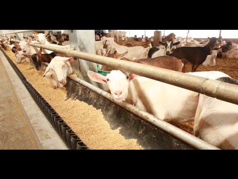 Ontario Goat Dairy Farm Tour