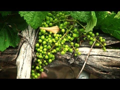 como hacer crecer una uva en parra