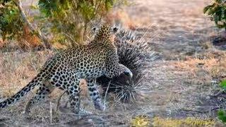 Leopard vs Porcupine Battle to Win   OMG
