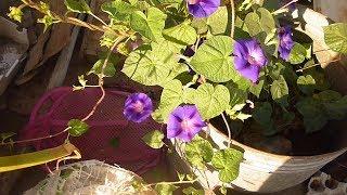 نبات متسلق البتونيا البواري طريقة زراعته وازهاره الملونة Planting petunias