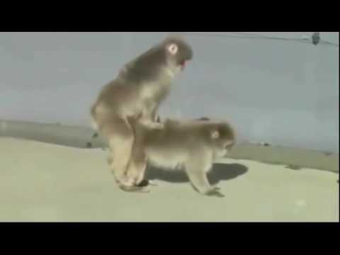 Xxx Mp4 Baboon Mating Hard In The Wild Wild Animal Mating Videos 3gp Sex