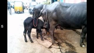 Little Buffalo Calf sucking milk while mother feeds on.