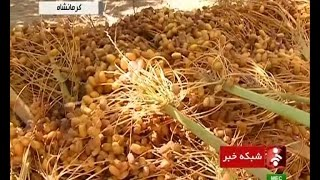 Iran Ghasr-e Shirin, The Golden Palm Dates land برداشت خرما از نخلستانهاي قصرشيرين