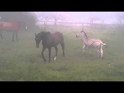 Horse and zebra play - fighting in the mist
