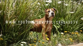 ALL ABOUT THE AMERICAN PIT BULL TERRIER WITH RICHARD F. STRATTON