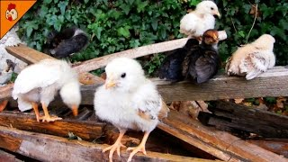 Small Chicks Looking Cute - Hen and Tiny Chickens - Chicks Chirping Sound Effect