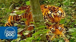 Apareamiento | La Guerra del Tigre