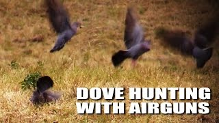 Dove hunting with airguns