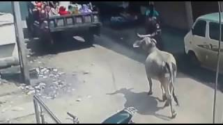Chhota Udaipur: Cow attacked woman sitting on tractor