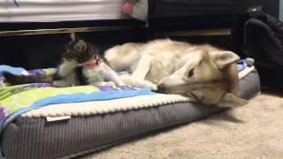 Kitten Rosie won't leave Husky Mom Lilo Alone