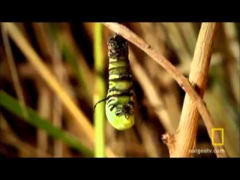 metamorfose das borboletas tec.wmv
