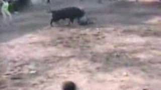 Hond redt man van stier