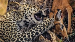 Leopard Mother Hunts for her Cub | BBC Earth