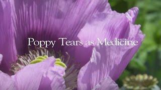 Poppy Medicine | A Deeper look at Opium Poppies