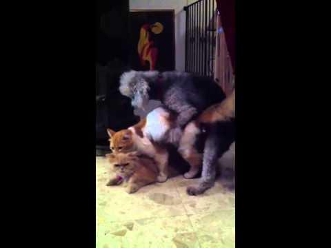 Small Dog Mating Cats Breeding